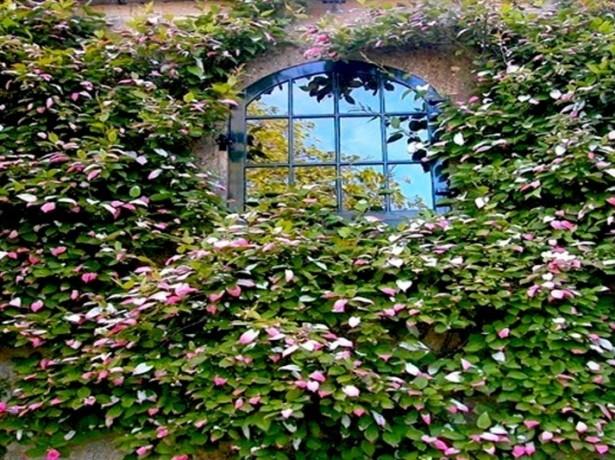 Актинидия – посадка и уход за растением