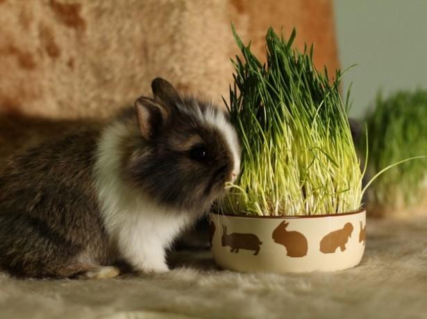 Чем можно и чем нельзя кормить декоративных кроликов