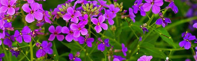 Фиалка не хочет цвести: в чём причина и как вылечить растение