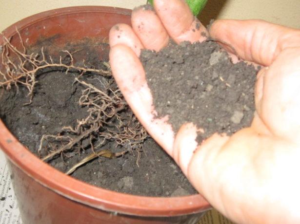 Гемантус: как вырастить «кровавый цветок»