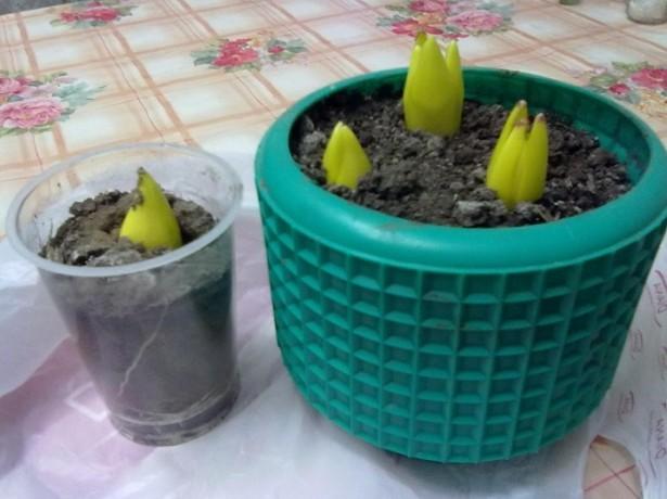 Как правильно сажать тюльпаны в домашних условиях