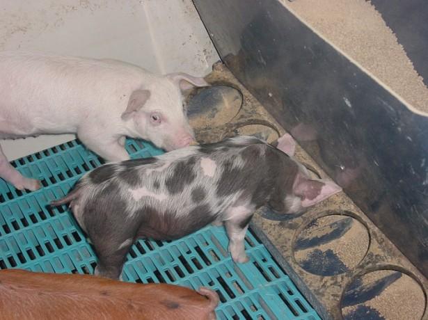 Как сделать кормушки для свиней своими руками