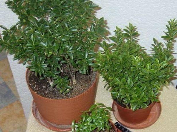 Комнатный бересклет: посадка и уход за растением с мужским характером