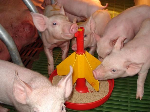 Корма свиноводство — первостепенная задача