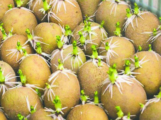 Лучшие сорта картофеля для Северо-Западного региона и Ленинградской области