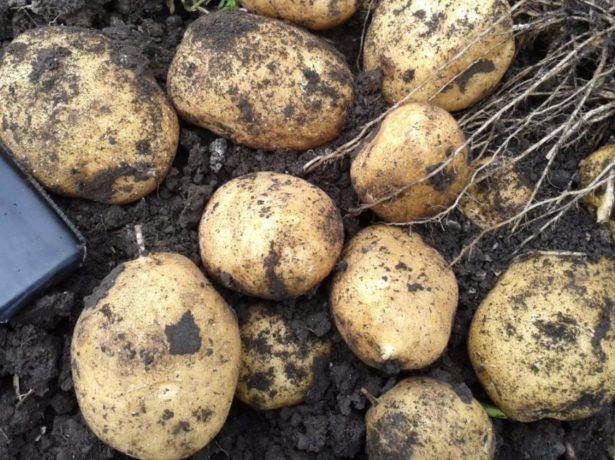 Лучшие сорта картофеля для выращивания в средних широтах