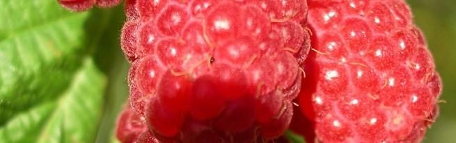 Малина Шапка Мономаха — рубиновая красавица на вашем участке