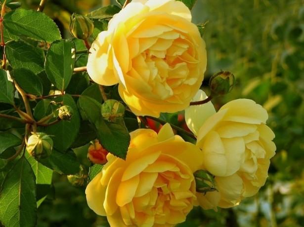 Обрезаем розы на зиму в соответствии со спецификой куста