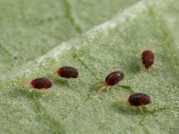 Огурцы поражены болезнями или вредителями, что делать?
