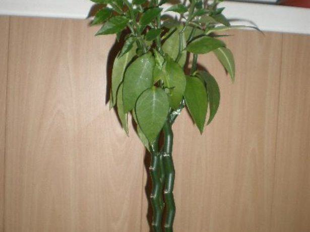 Педилантус в домашних условиях – всё о посадке, размножении, уходе за цветком