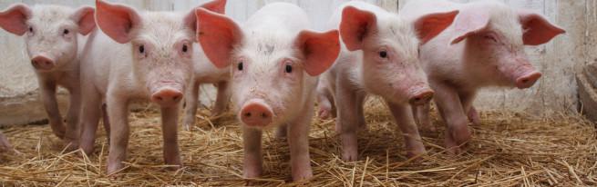 Почему так популярно свиноводство и с чего стоит начать?