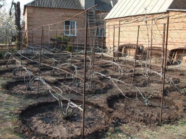 Подкормка винограда корневая и внекорневая — чем и как удобрять?