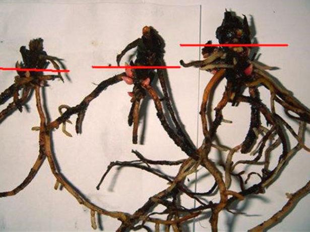 Размножение антуриума в комнатных условиях