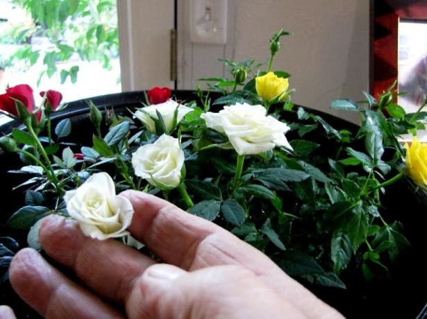 Роза комнатная – уход в домашних условиях в течение года