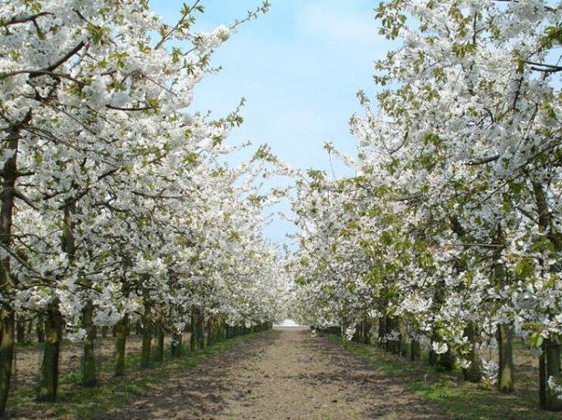 Сорт вишни Тургеневка — особенности посадки и ухода