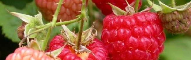 Удобрение малины осенью – залог будущего урожая