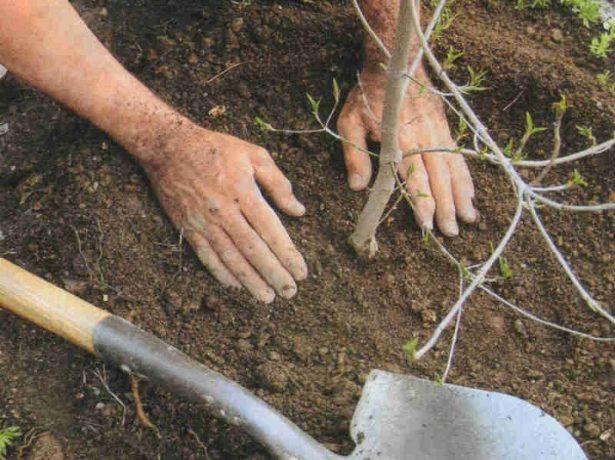 Вишня Молодёжная: советы по выращиванию
