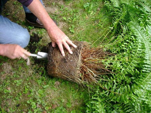 Выращиваем тропический папоротник нефролепис дома: уход, условия содержания и особенности размножения